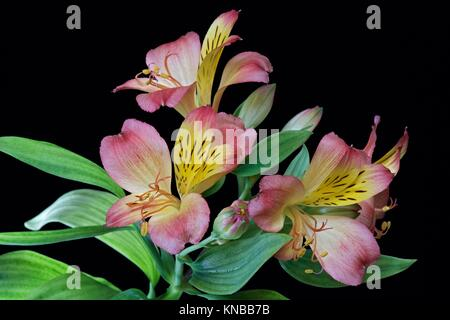 Peruvian lily (Alstroemeria x hybrid). Called Lily of the Incas also. Image of flowers on black background. - Stock Photo