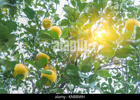 Fresh oranges growing on tree in city of China. - Stock Photo