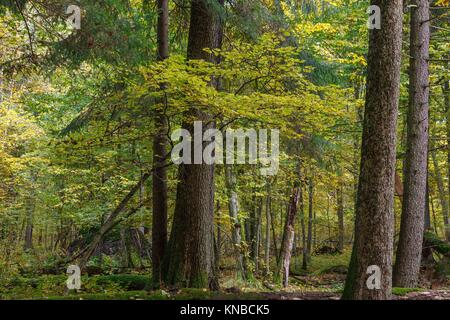 Autumnal landscape of natural with lying dead tree and old trees in background, Bialowieza forest, Poland, Europe. - Stock Photo