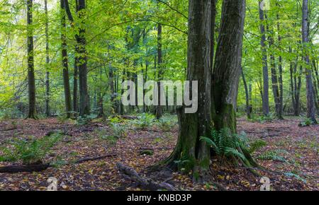 Old hornbeam tree in front of deciduous stand with ferns, Bialowieza Forest, Poland, Europe. - Stock Photo