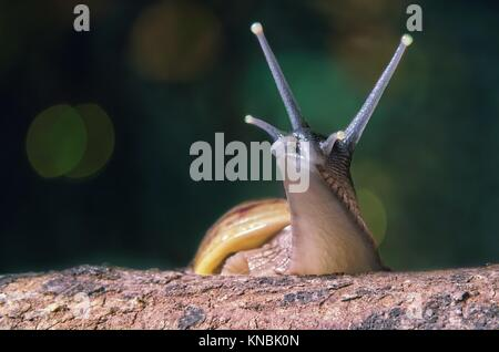 East African land snail [ Achatina fulica ] on a tree trunk - Stock Photo