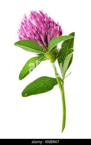 Single clover flower vertically isolated on white background. - Stock Photo