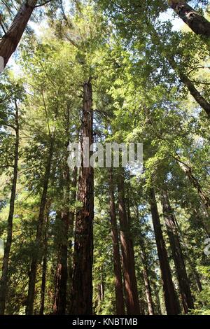 Looking up into the canopy of giant Redwood trees at Big Basin Redwoods State Park in Boulder Creek, California, - Stock Photo