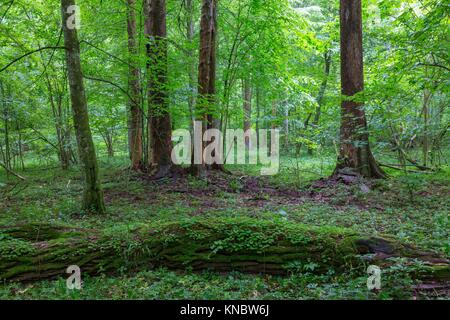 Bark-less dead spruces in old summertime deciduous stand,Bialowieza Forest,Poland,Europe. - Stock Photo