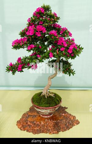 ... Botanical Garden · Kyoto, Japan, Pink Flowering Azalea Bonsai Tree In A  Pot In The Kyoto Botanical