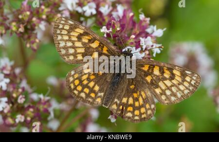 Heath fritillary (Melitaea athalia) butterfly male closeup in summer, Podlasie Region, Poland, Europe. - Stock Photo