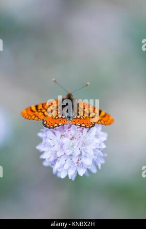 Butterfly, Sierra de Guadarrama, Madrid, Spain, Europe. - Stock Photo