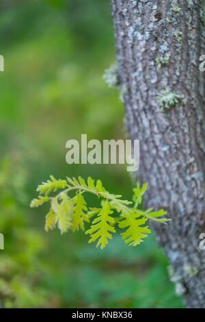 Pyrenean Oak forest, Sierra de Guadarrama, Madrid, Spain, Europe. - Stock Photo