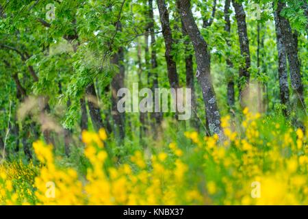 Pyrenean Oak forest and Common Broom, Sierra de Guadarrama, Madrid, Spain, Europe. - Stock Photo