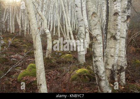 Birches (Betula pendula) next to the peat bog near Lumbreras, in the natural park Sierra Cebollera. La Rioja. - Stock Photo