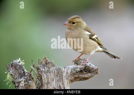 Chaffinch (Fringilla coelebs) female in the region of Los Serranos. Valencia. - Stock Photo