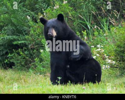 Black Bear (Ursus Americanus) - Stock Photo