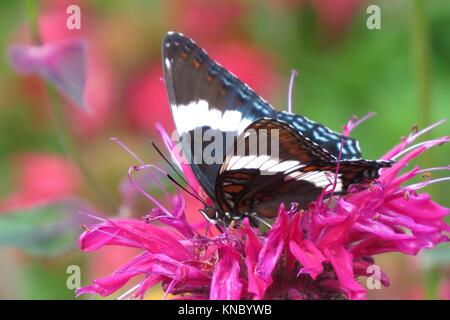 White Admiral Butterfly on bee balm - Stock Photo