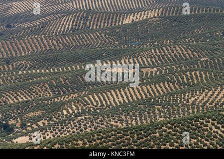 Olive trees, parque natural sierras de Cazorla, Segura y Las Villas, Jaen, Andalucia, Spain. - Stock Photo