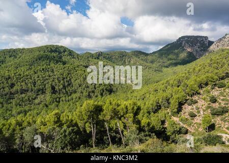 Pinar de Canet,Pinus halepensis, Moleta de Son Cabaspre, Esporles, sierra de Tramuntana, Mallorca, Balearic Islands, - Stock Photo