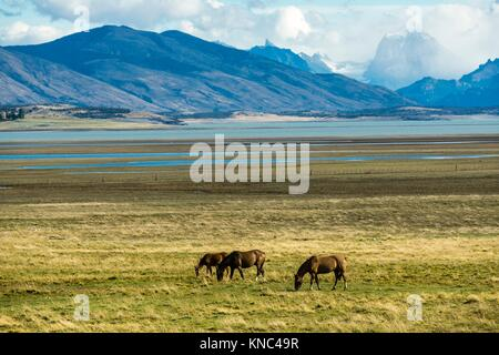 Horses in the Pampas near lago Roca, Patagonia, Argentina. - Stock Photo