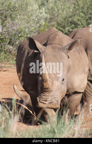 White Rhino - Stock Photo