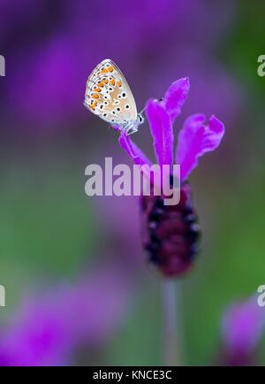 Butterfly and Spanish lavender (Lavandula stoechas), Sierra de Guadarrama, Madrid, Spain, Europe. - Stock Photo