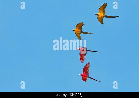 The Blue-and-Yellow Macaws (Ara ararauna) and the Red-and-Green Macaws (Ara chloropterus) in flight. Bali Bird Park, Batubulan, Bali, Indonesia.