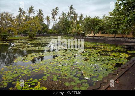 Water lilies growing in the Lotus Lagoon. Candidasa village, Manggis subdistrict, Karangasem Regency, Bali, Indonesia. - Stock Photo