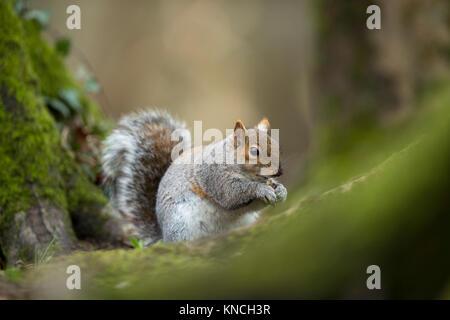 Grey Squirrel; Sciurus carolinensis Single; Holding Food Cornwall; UK - Stock Photo