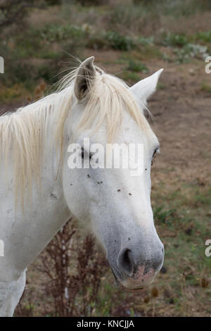 Close up of a white Camargue horse standing at a barbed wire fence. Only his head and neck are shown facing the - Stock Photo
