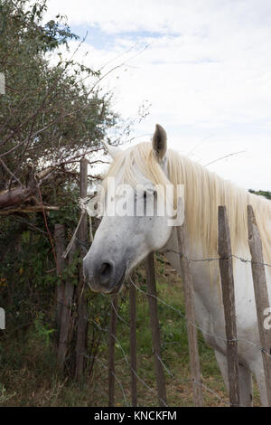Close up of a white Camargue horse leaning on a barbed wire fence. Only his head, neck and chest are shown in profile. - Stock Photo