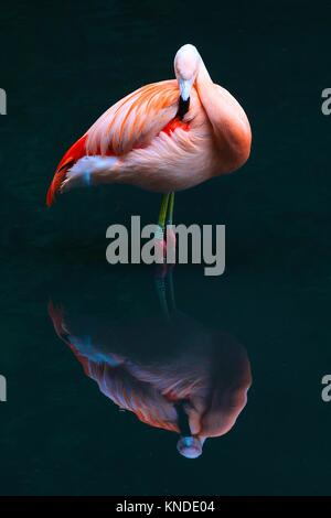 A pink flamingo reflected in water - Stock Photo