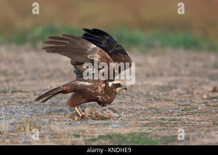 Female Marsh Harrier taking off from the ground in Spain - Stock Photo