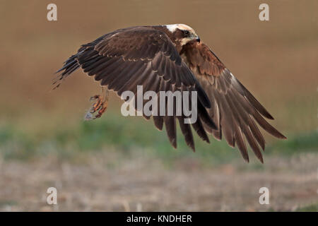 Female Marsh Harrier in flight in Spain - Stock Photo