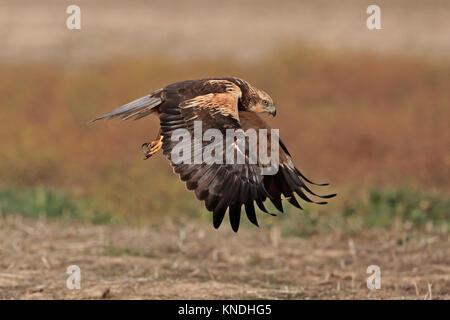 Immature Male Marsh Harrier in flight in Spain - Stock Photo