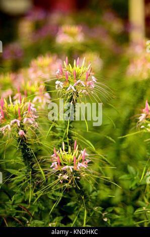 Brilliant cleome flowers in soft focus, Pennsylvania, USA. - Stock Photo