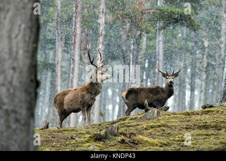 Red Deer; Cervus elaphus Two Stags in Snow Scotland; UK - Stock Photo