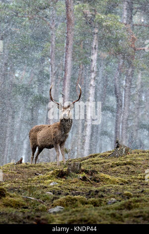Red Deer; Cervus elaphus Single; Stag in Snow Scotland; UK - Stock Photo