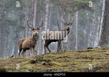Red Deer; Cervus elaphus Two; Stags in Snow Scotland; UK - Stock Photo