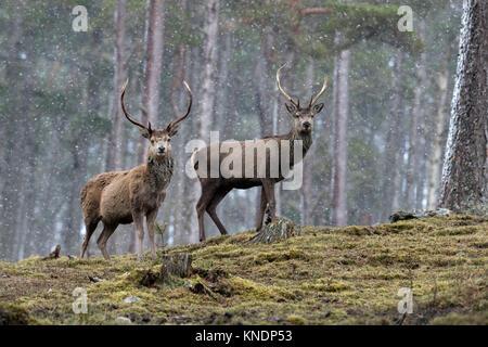 Red Deer; Cervus elaphus Two; Stags in Snow Scotland; UK - Stock Photo