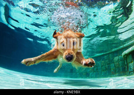 Underwater funny photo of golden labrador retriever puppy in swimming pool play with fun - jumping, diving deep - Stock Photo