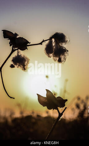 Cotton fields in the Khiva countryside, Xorazm Region, Uzbekistan, October 28, 2017    Credit © Jacopo Casaro/Sintesi/Alamy - Stock Photo