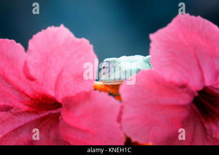 Tree frog hiding behind a flower, Indonesia - Stock Photo
