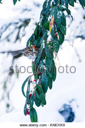 Redwing, Turdus iliacus, eating berries off a snow covered tree in a semi rural garden. - Stock Photo