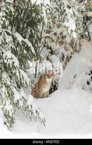 Eurasian Lynx (Lynx lynx) in winter, Bavaria, Germany. - Stock Photo