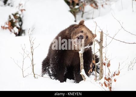 Young Brown bear (Ursus arctos) in the snow, Bavarian Forest National Park, Germany. - Stock Photo