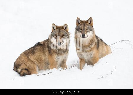 Two wolves (Canis lupus) in winter, Bavarian Forest National Park, Germany. - Stock Photo