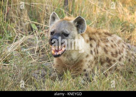 Spotted hyena (Crocuta crocuta). Okavango Delta, Botswana, Africa. - Stock Photo