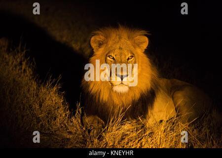 African lion (Panthera leo) in darkness. Okavango Delta, Botswana, Africa.