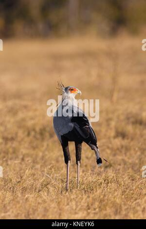 Secretary bird (Sagittarius serpentarius). Okavango Delta, Botswana, Africa. - Stock Photo