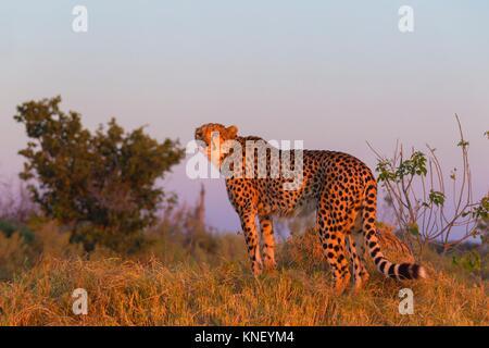 Cheetah (Acinonyx jubatus) at sunset. Okavango Delta, Botswana, Africa. - Stock Photo