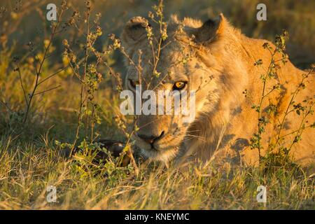 African lion (Panthera leo). Okavango Delta, Botswana, Africa. - Stock Photo