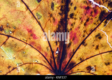 Maple leaf textured pattern macro view, vintage herbarium. Abstract background, detailed soft focus photo - Stock Photo