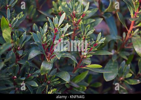 Tasmannia lanceolata - Stock Photo